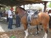 Horses in the best outfit. / Geschmückte Pferde für die Parade.